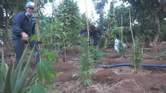 Phát hiện hơn 1.000 cây cần sa, chủ khai trồng cho… gà! - Ảnh 1.
