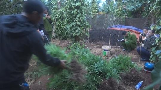 Phát hiện hơn 1.000 cây cần sa, chủ khai trồng cho… gà! - Ảnh 3.