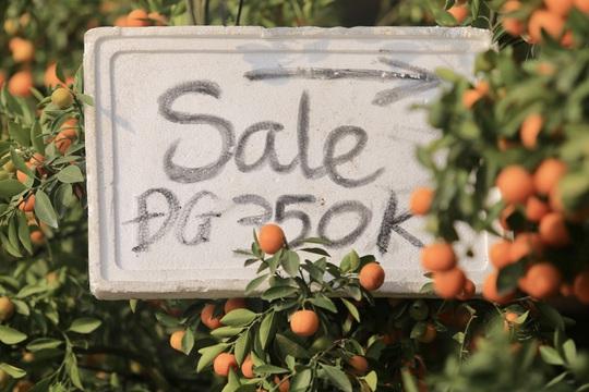 """CLIP: Thị trường đào, quất giá """"sale sập sàn"""" nhưng vẫn vắng người mua - Ảnh 7."""