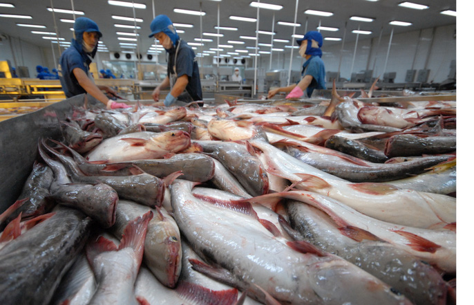 Những hình ảnh đẹp về cá tra từ ao nuôi đến nhà máy - Ảnh 9.