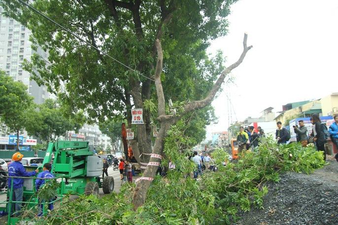 Bắt đầu chặt hạ gần 1.300 cây xanh trên đường Phạm Văn Đồng - Ảnh 7.
