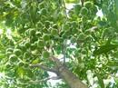 Bơm 22.000 tỉ đồng phát triển cây mắc ca