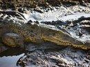 Thoát chết hàm cá sấu nhờ cờ lê, bugi