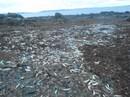 Tôm, cua, cá... chết hàng loạt dạt vào bờ biển Canada