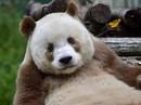 Chú gấu trúc màu nâu duy nhất trên thế giới