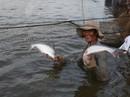 Thương lái Trung Quốc ồ ạt thu mua cá tra