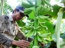 Thăm vườn chuối triệu đô ở Long An