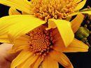 Nhớ nhung mùa hoa dã quỳ