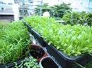 Vườn rau xanh mát trên sân thượng của nàng dâu xinh đẹp