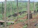 Lại rầm rộ phá rừng Tây Nguyên: Cạo trọc rừng Đắk Nông
