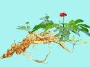 Truy bắt cán bộ bảo vệ rừng trộm cả vườn sâm Ngọc Linh