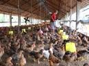 Nuôi đàn gà, bù lỗ 100 triệu đồng mỗi ngày!