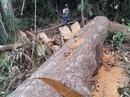 Buông lỏng quản lý rừng