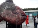 Bắt được cá mặt trời nặng hơn 1 tấn, đem cho gấu ăn