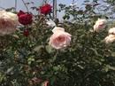 Độc đáo thú chơi hoa hồng cổ giá hàng chục triệu đồng