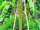 Kỳ lạ buồng chuối dài 2m trổ hơn 200 nải