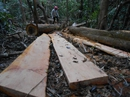 Thoải mái... phá rừng