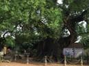 Mục sở thị cây dã hương ngàn tuổi