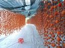 Hồng sấy treo Đà Lạt nửa triệu đồng/kg hút hàng dịp Tết