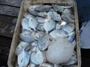 Cá nuôi lồng bè sông Chà Và lại chết hàng loạt