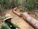 Chưa đồng ý đề xuất lấy gỗ tang vật cho người nghèo