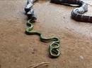 Rắn sọc nuốt chửng rắn xanh dài gần gấp đôi và cái kết bất ngờ