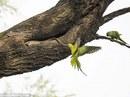Xúc động tình mẫu tử của loài chim vẹt đuôi dài