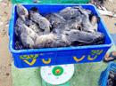 """Hàng chục tấn tôm hùm, cá mú, cá bớp… """"rẻ như cho"""""""
