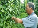 Tiêu rớt giá, nhà vườn và doanh nghiệp gặp khó