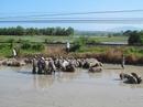 Xe lật, hơn 100 con heo được tắm bùn
