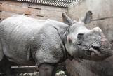 Lũ cuốn tê giác quý hiếm trôi 42 km, từ Nepal tới Ấn Độ