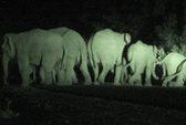 Trắng đêm đuổi voi rừng