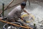 Cấp bách cứu ngành cá tra