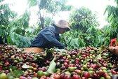 Người trồng cà phê oằn mình trả nợ