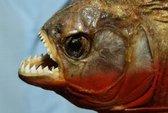Mỹ nghiên cứu cá để làm... áo giáp