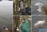 Trung Quốc: Chưa biết bao giờ heo hết trôi sông