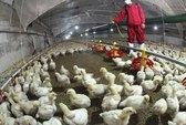 2 tuần, Trung Quốc mất hơn 1,6 tỉ USD vì cúm H7N9