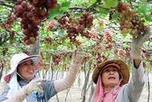 Người trồng nho Ninh Thuận trúng lớn