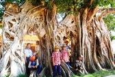 """Ngắm cây bồ đề có bộ rễ tạo thành 3 """"cổng"""" độc đáo ở Phú Yên"""