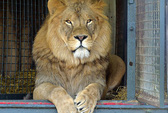 Phát hiện sư tử chết trong tủ lạnh nhà hàng