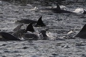 Đội cá heo sát thủ Crimea về tay Nga