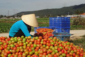 Lại điêu đứng vì cà chua mất giá