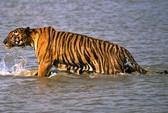 Hổ nhảy lên thuyền vồ người, kéo xác vào đầm lầy