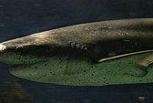 Thoát chết kỳ diệu từ hàm cá mập 7 mang