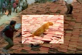 Báo hoang nhảy lên mái nhà tấn công người