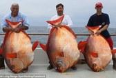 Câu được ba chú cá Mặt Trăng cực hiếm