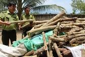 Chặt gỗ trắc non bán cho Trung Quốc