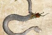 Bị nuốt sống, rết xé thủng bụng rắn chui ra ngoài