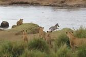 Ngựa vằn thoát chết ngoạn mục trước bầy sư tử đói