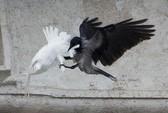 Chim bồ câu của Giáo hoàng bị